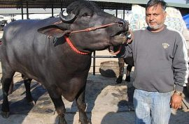 Indian bull fetches world record auction price of $1.92m but owner declines sale to continue selling semen for $47k a month.