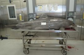 NSFW: Dolphin washes up dead with arrow in Gulf of Mexico.