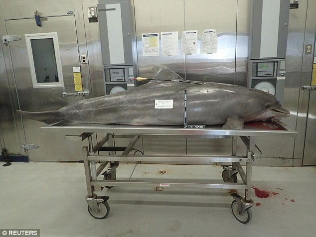 Dead dolphin with arrow