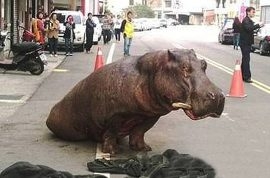 Video: Hippo crying in pain after falling from truck (a second time) dies. Staff just looked on