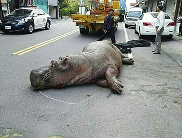 Hippo crying in pain after falling from truck