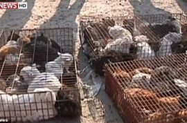 Pictures: 1000 stolen Chinese pet cats to be sold for meat and fur rescued.