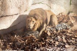 Video: Justo Jose, Neo Nazi activist mauled by lions at Barcelona zoo.