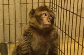 French monkey tasered after chocolate addiction forced it to steal children's candies.
