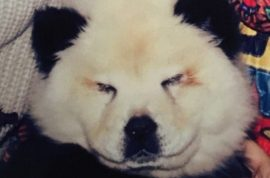 Dogs confiscated from circus after trying to pass them off as pandas.