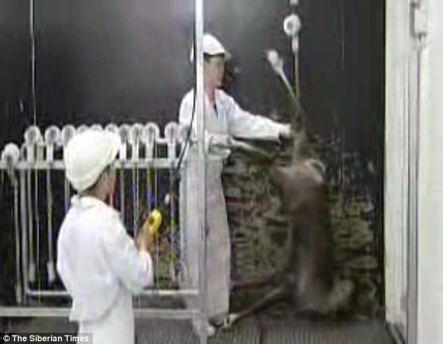Reindeers beheaded by Siberian gulag
