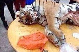 Pictures: Chinese businessman jailed for 13 years for eating three tigers and drinking their blood