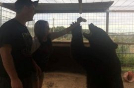 Idiot woman has arm mauled by 400 pound Florida black bear at sanctuary
