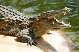 Did beer contaminated with crocodile bile really kill 69 at Mozambique funeral?