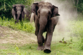 Elephant tramples married couple to death as they took pictures.
