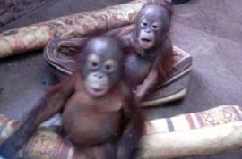 Baby orangutans bred as playthings for Russian super rich fetching $35K