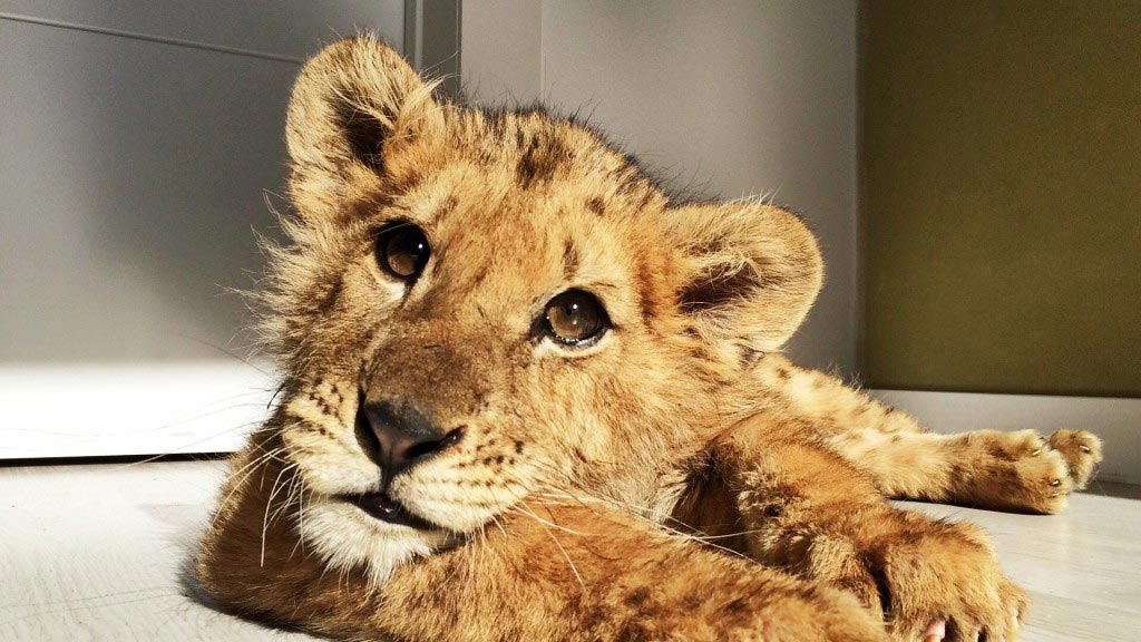 Lion cub starved by Spanish circus