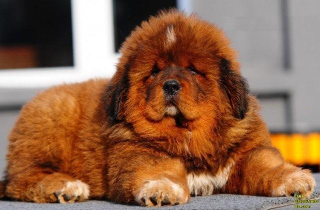 Chinese Mastiff dogs