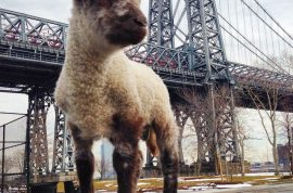 Smokey Da Lamb, Adopted lamb barred from Manhattan apartment