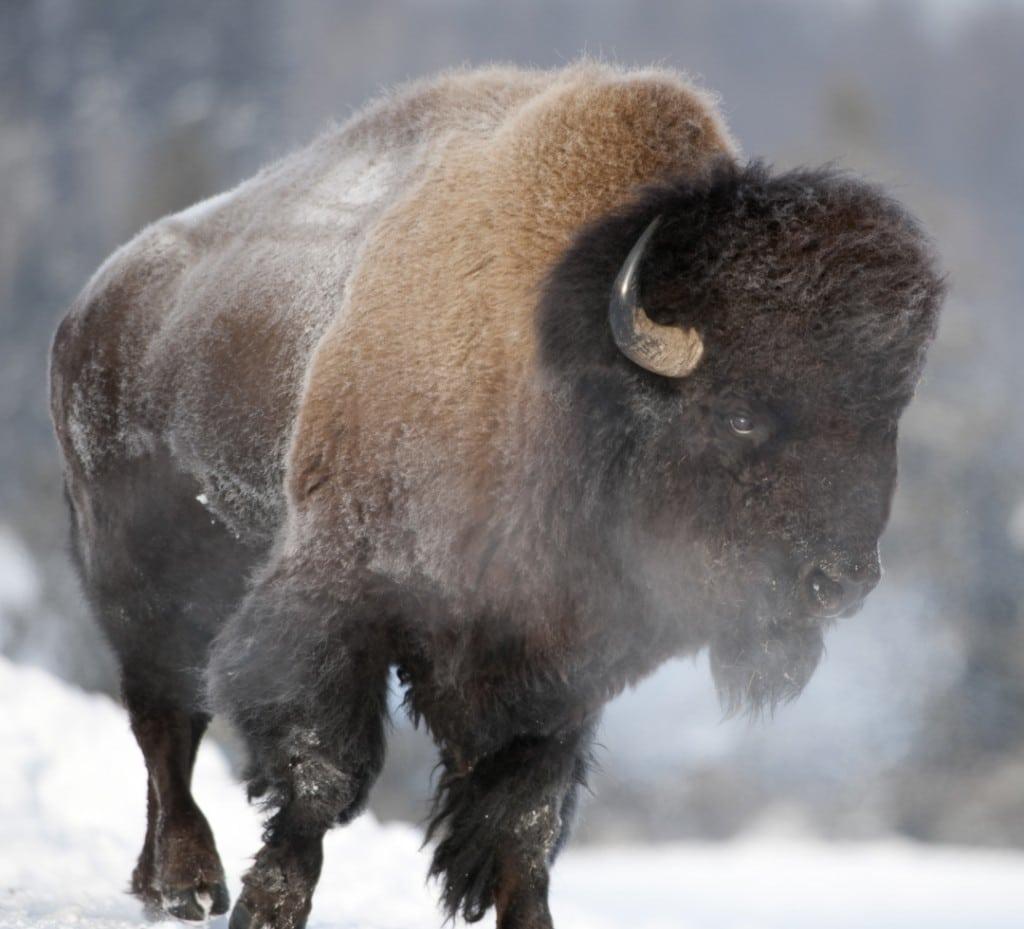 Yellowstone Bison gores teen