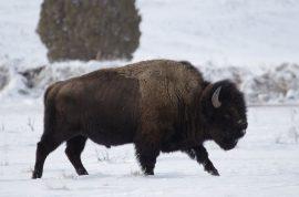 Yellowstone Bison gores idiot teen posing for killer photo.