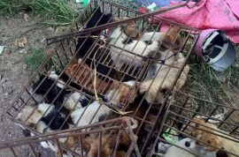 #StopYulin2015: Dog eating festival continues as woman pays $1000 to save 100 dogs