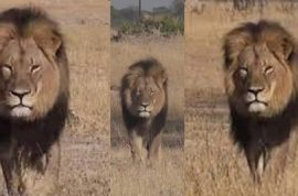 Walter Palmer: I panicked when I discovered Cecil's collar and hid it in a tree
