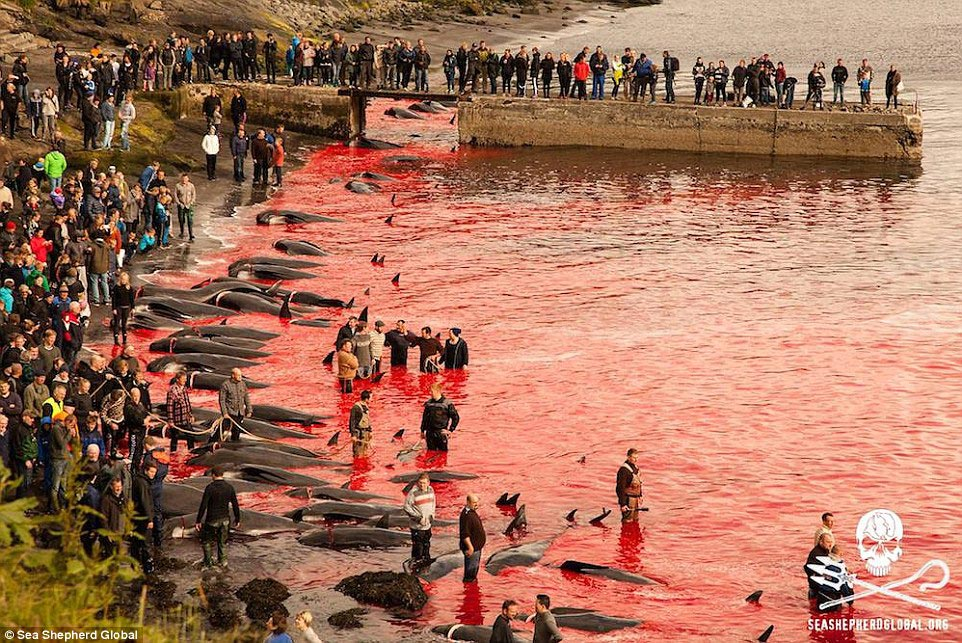 Faroe Islands whale massacre
