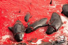 NSFW: Faroe Islands whale massacre 2015 photos.