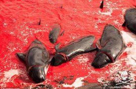NSFW: Faroe Islands whale massacre 2015 photos.