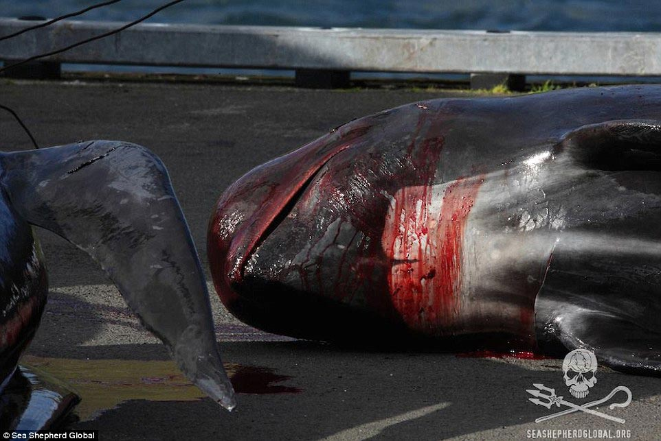 Faroe Islands whale massacre