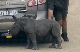 Orphaned baby rhino attempts to make grey jeep his new mom. Suffers cardiac arrest