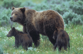 Yellowstone hiker eaten to death by mother bear and cubs