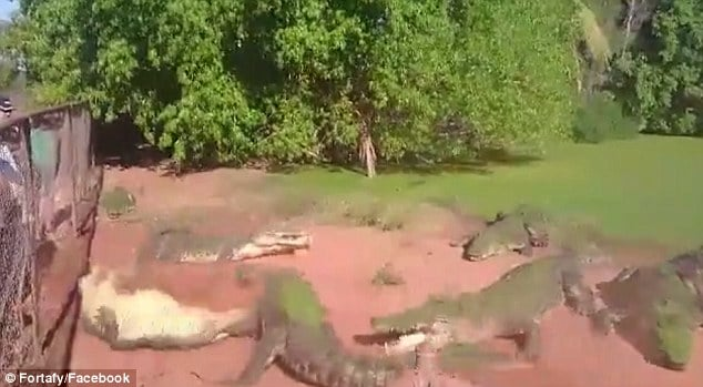 Crocodile rips off fellow croc's leg and eats it