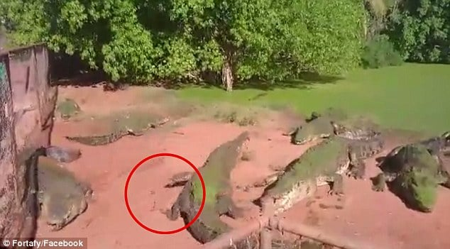 Crocodile rips off fellow croc's leg and eats it