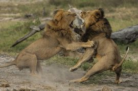 Is Jericho the lion dead? GPS tracking device still working….