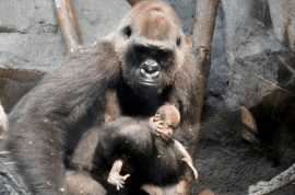 Frankfurt zoo: Mother gorilla carries dead baby for a week trying to wake it up