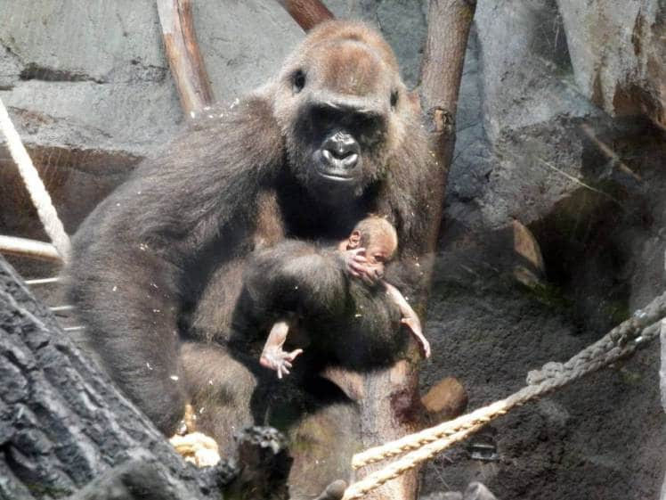 Frankfurt zoo: Mother gorilla carries dead baby for a week