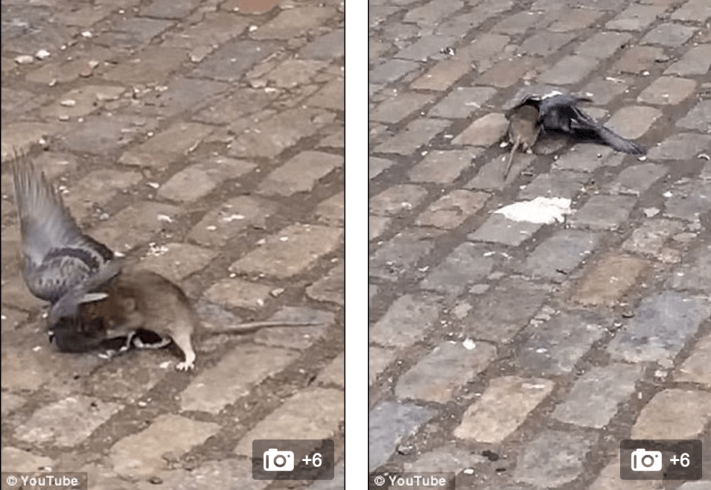 Brooklyn Killer rat filmed attacking and killing pigeon
