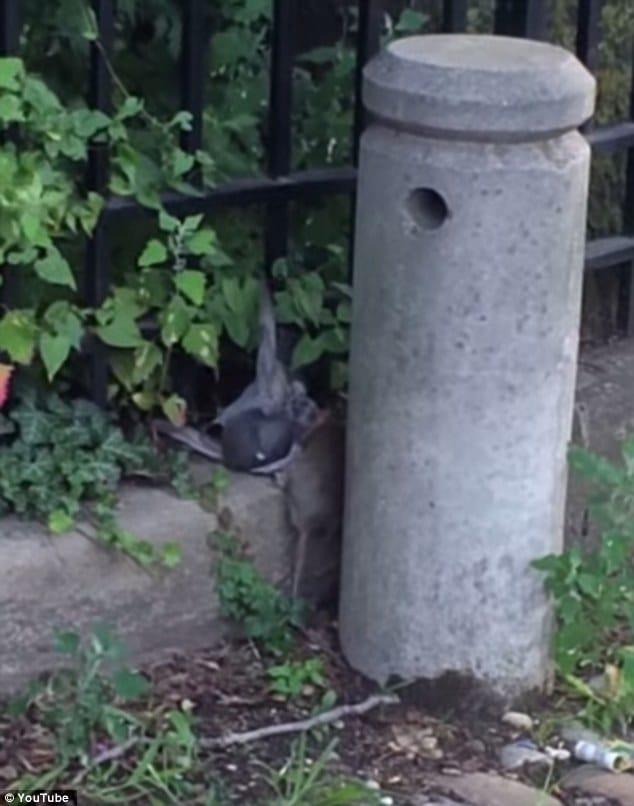 Brooklyn Killer rat filmed attacking and killing pigeon