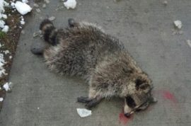 Aryan Gavali mauled by raccoon walking to school