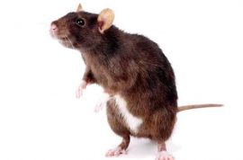 Mexican newborn baby gnawed to death by rats