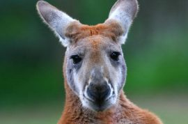 Hungry? Severed Kangaroo head discovered cooking on bbq by Melbourne jogger