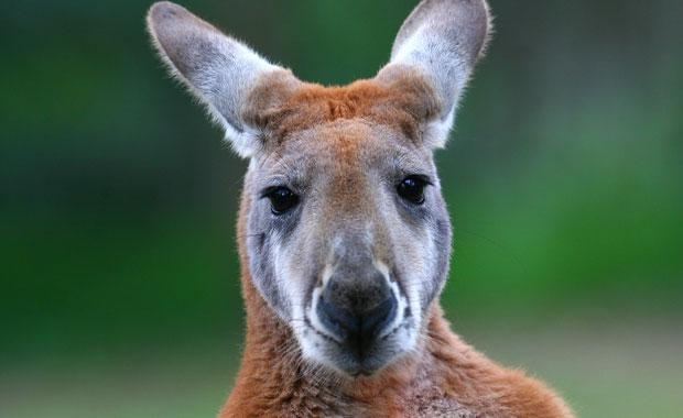Severed Kangaroo head discovered cooking Melbourne bbq. Did you manage to have a 'delicacy stuffed' Australian day picnic?
