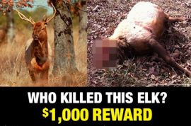 $4000 reward. Headless elk killed, mystery poacher sought.