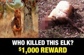 $4000 reward. Headless elk killed, mystery poacher sought.