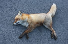 Sedat Tur, stalker leaves dead fox by woman's front door