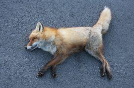 Sedat Tur, stalker leaves dead fox by woman's front door