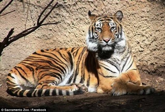 Sacramento female tiger killed by mating partner at zoo