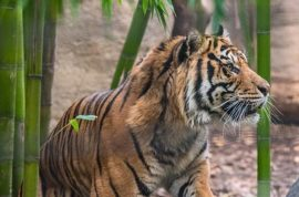 'Killed within minutes' Sacramento female tiger killed by mating partner at zoo