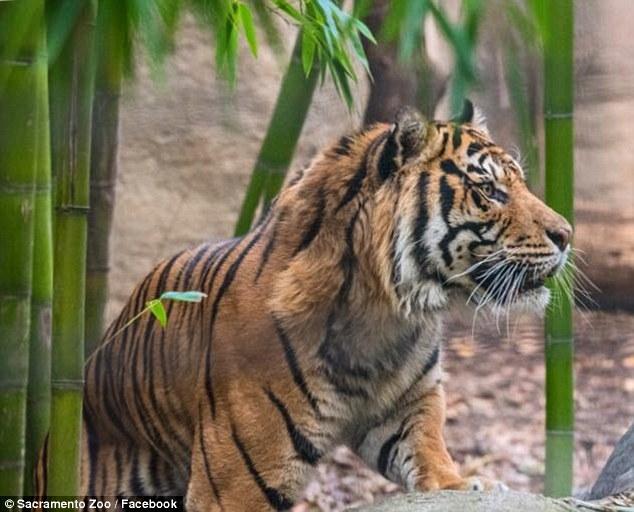 Sacramento female tiger killed by mating partner at zoo
