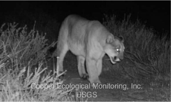 Griffith Park Mountain lion P22 eats Los Angeles Koala