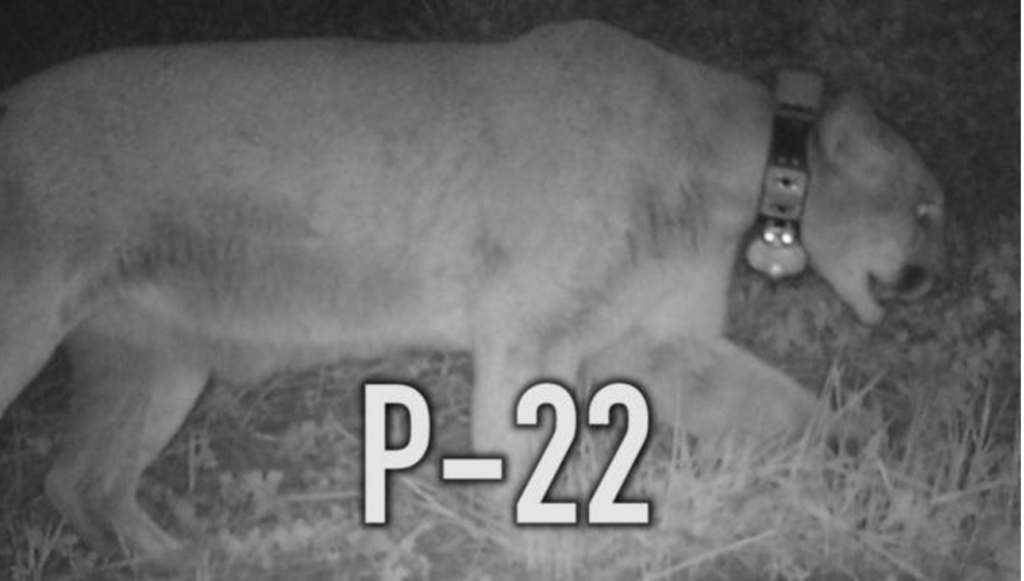 Griffith Park Mountain lion P22 eats Los Angeles Koala