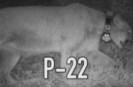'Still at large' Griffith Park Mountain lion accused of eating Hollywood Koala.