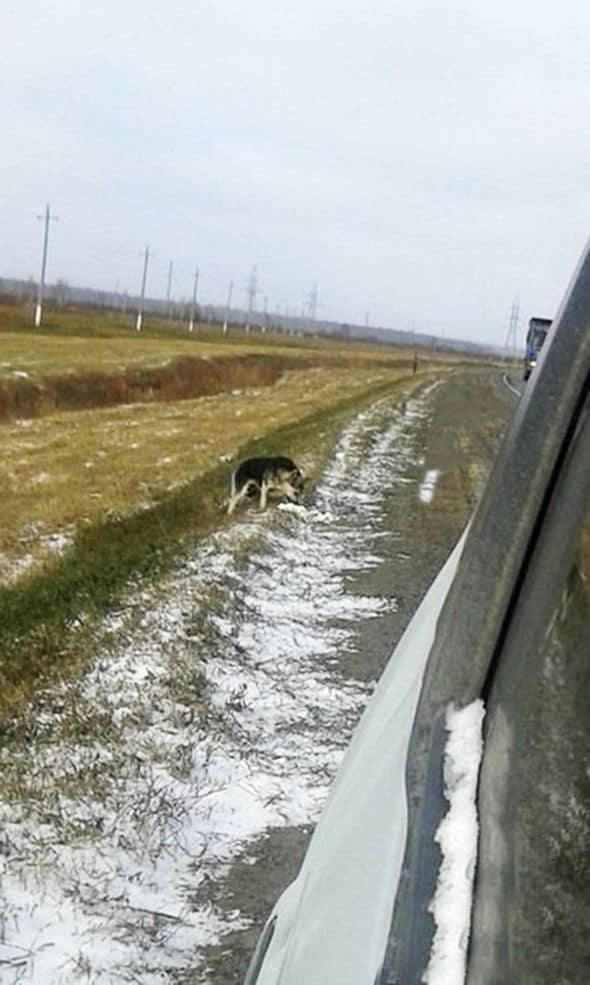 Siberian dog refuses to leave dog owner crash site